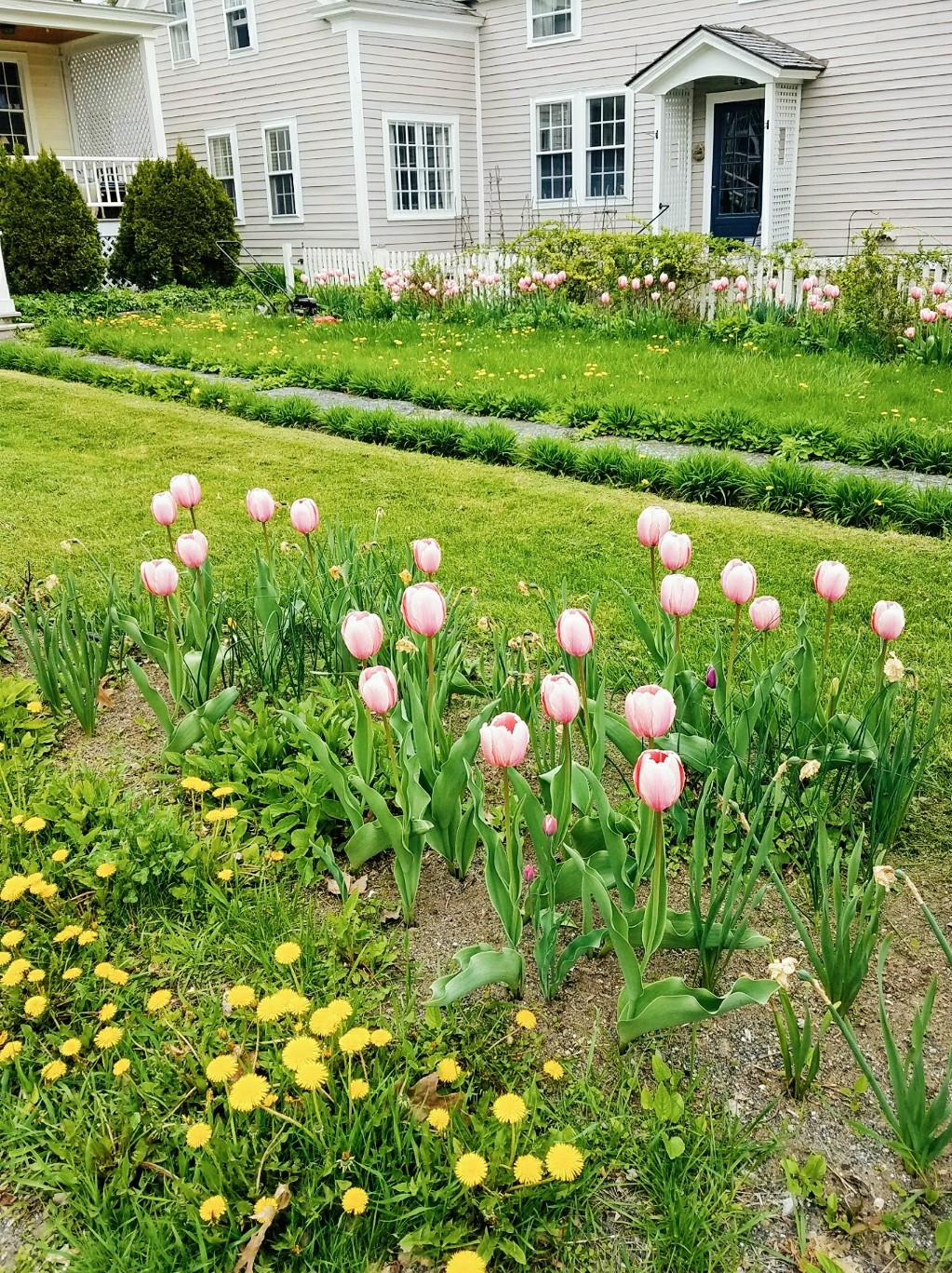 Backyard of a house with tulips planted in the ground