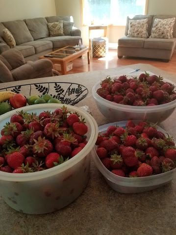 Tons of strawberries in buckets on a kitchen counter.